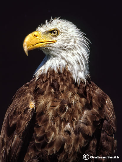Eagle_Bald3_Head