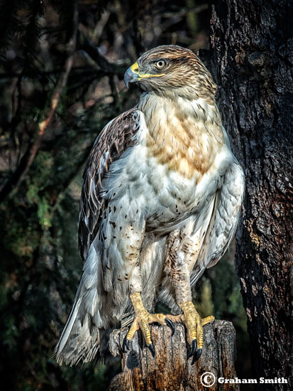 Hawk_Red_Tail1