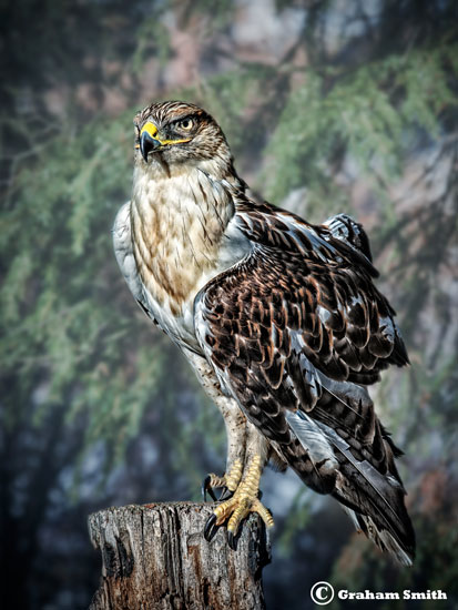 Hawk_Red_Tail2
