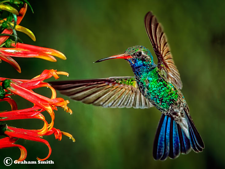Hummer_Broad_Bill1