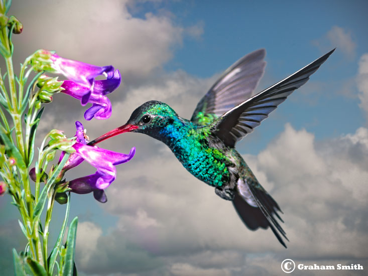 Hummer_Broad_Bill_Sky