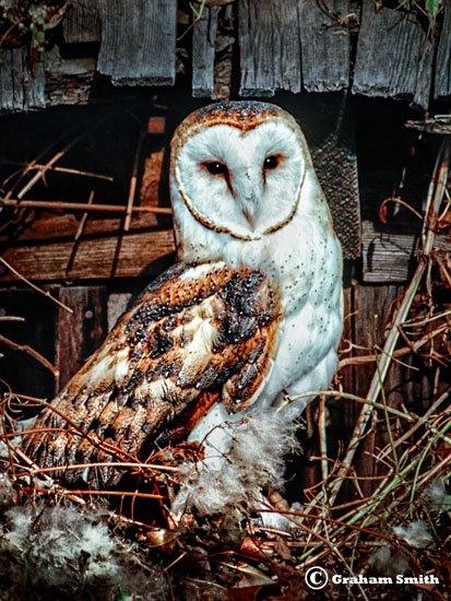 Owl_Barn_Nest