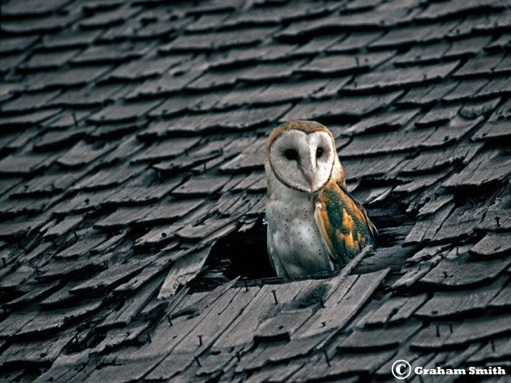 Owl_Barn_Roof1