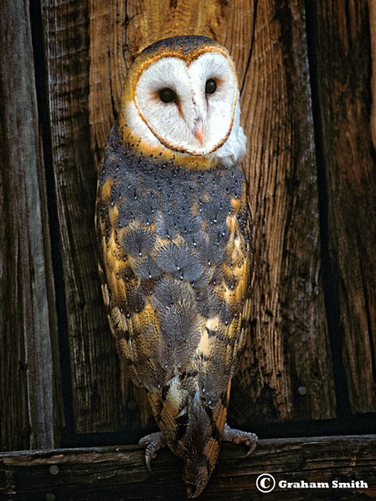 Owl_Barn_Wood