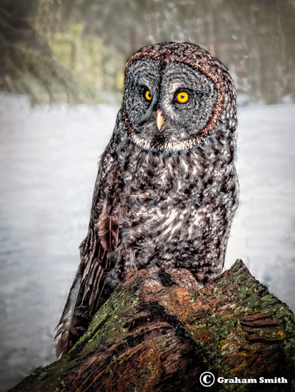 Owl_Great_Gray2