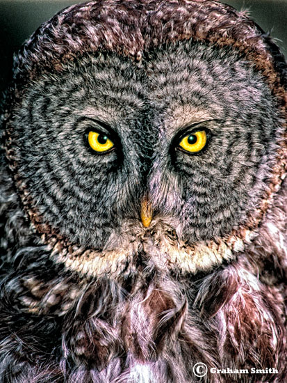 Owl_Great_Grey_Face