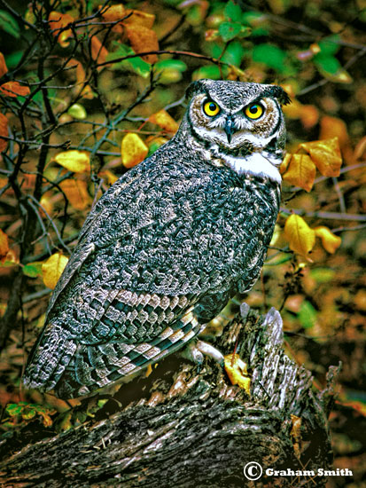 Owl_Great_Horned1