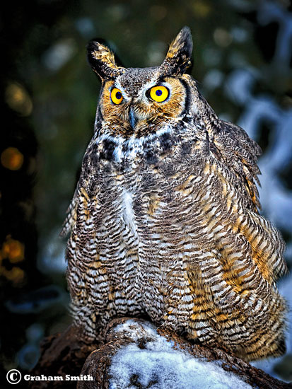 Owl_Great_Horned2