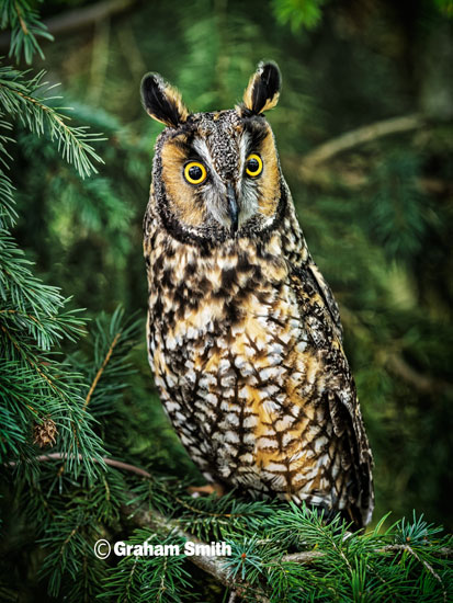 Owl_Long_Eared1