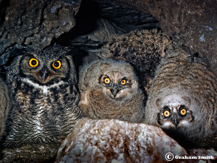 Owls_Horned_Three
