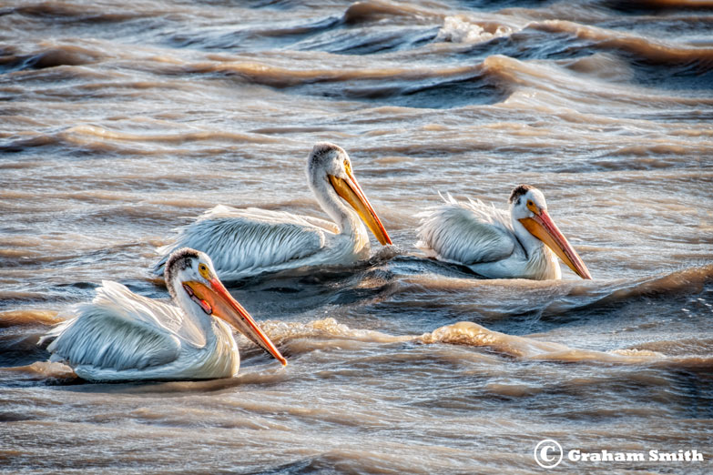 Pelicans_Three