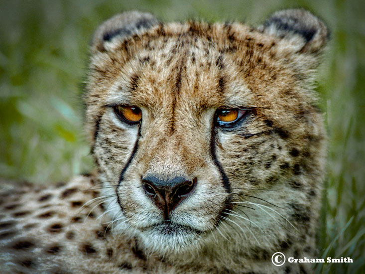Cheetah_Face