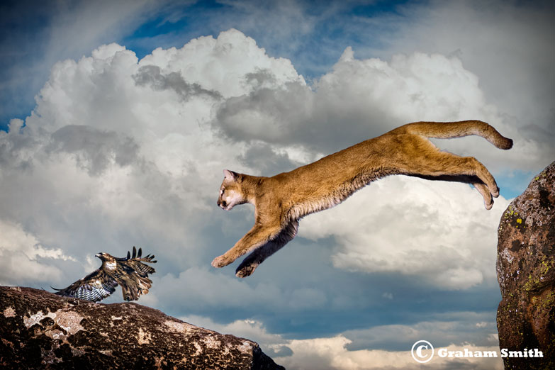 Cougar_Leap_Hawk