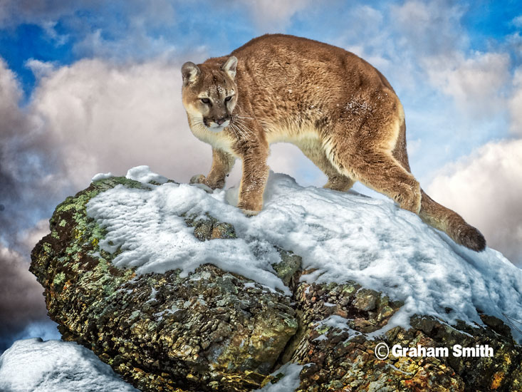 Cougar_Snow_Cliff