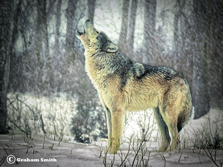 Wolf_Gray_Howling1