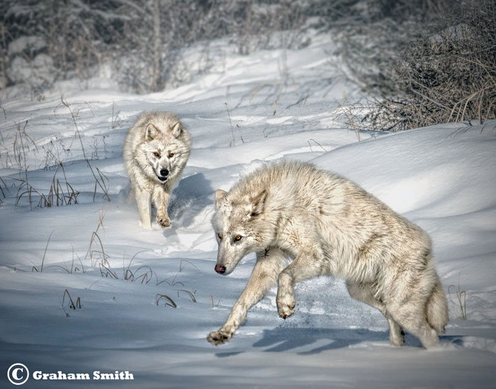 Wolves_Arctic-_Duo3