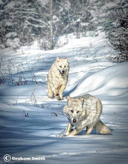 Wolves_Arctic_Duo2